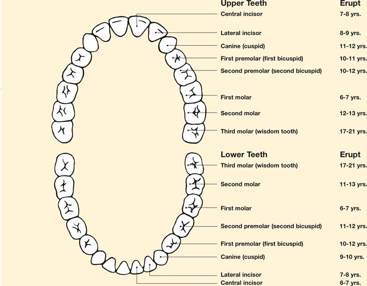 Teeth Chart Template   Teeth Chart Template Free Download Speedy Template
